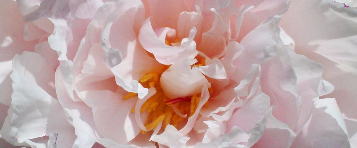 blomst i pink